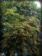 Photo of horse-chestnut tree